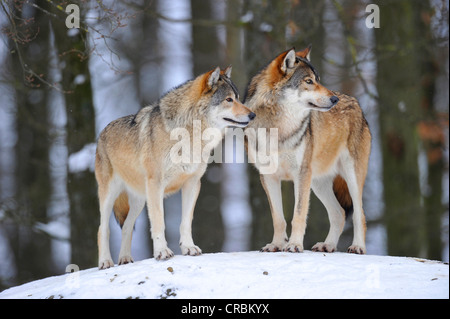 Mackenzie Wolves, Eastern wolf, Canadian wolf (Canis lupus occidentalis) in snow, on guard - Stock Photo