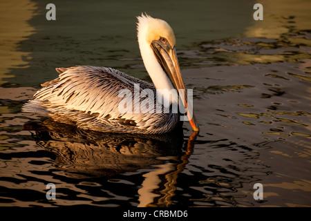 Brown Pelican (Pelecanus occidentalis) in Fort Lauderdale, Broward County, Florida, USA - Stock Photo