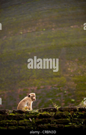 Toque macaque (Macaca sinica) in front of the Dagoba Kiri Vihara stupa in the ruins of , UNESCO World Heritage Site, - Stock Photo