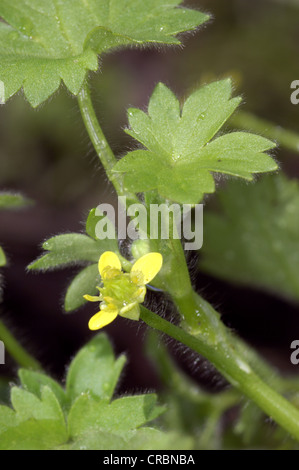 SMALL-FLOWERED BUTTERCUP Ranunculus parviflorus (Ranunculaceae) - Stock Photo