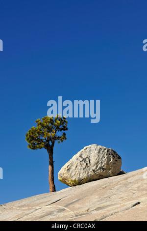 Lone Great basin bristlecone pine (Pinus longaeva) next to a granite rock on a stone slab, Olmsted Point, Yosemite - Stock Photo