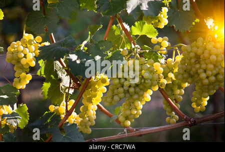 Close up of grapes on vine in vineyard - Stock Photo
