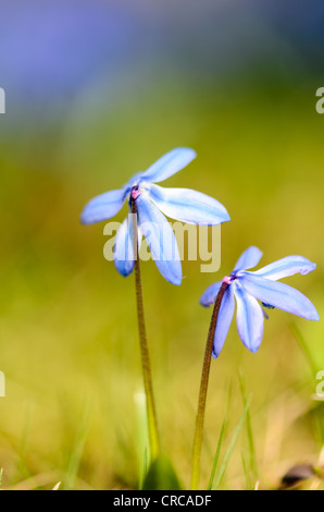 Two early spring Scilla flowers on a clean background - Stock Photo
