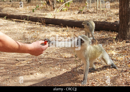 Human feeding monkey - Stock Photo