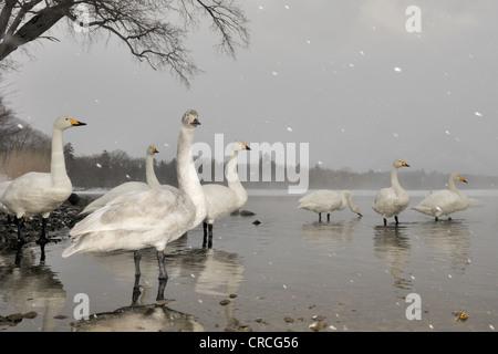 Whooper Swans (Cygnus cygnus) standing in lake while snowing, Kussharo lake, Akan national park, Hokkaido, Japan. - Stock Photo