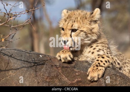 Cheetah (Acinonyx jubatus) juvenile licking its paw, Tshukudu Game Lodge, Hoedspruit, Greater Kruger National Park - Stock Photo