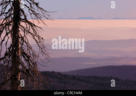 spruce (Picea spec.), hilly landscape in morning light,  bare-branched tree because of bark beetles, NP Bavarian - Stock Photo