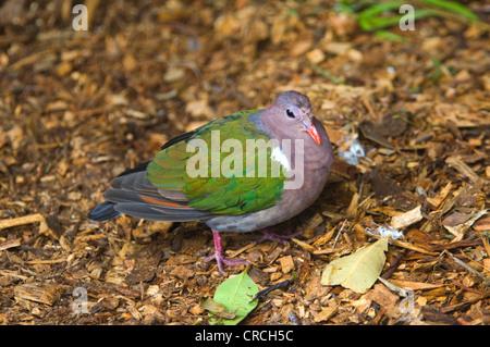 Emerald Ground-dove (Chalcophaps indica) Captive - Stock Photo
