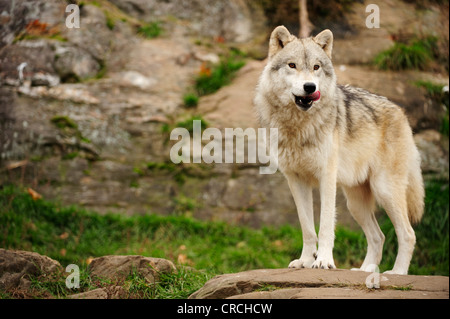 Polar Wolf, White Wolf or Arctic Wolf (Canis lupus arctos) standing on a rock, Canada - Stock Photo