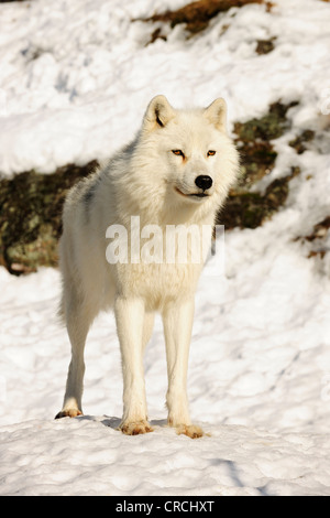 Arctic Wolf, Polar Wolf or White Wolf (Canis lupus arctos) standing in snow and looking into the distance, Canada - Stock Photo