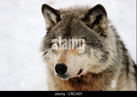 Wolf (Canis lupus), portrait, Canada - Stock Photo