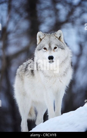 Arctic Wolf, Polar Wolf or White Wolf (Canis lupus arctos) standing on snow-covered rocks, Canada - Stock Photo