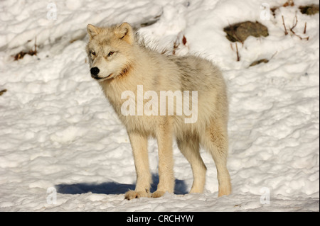 Arctic Wolf, Polar Wolf or White Wolf (Canis lupus arctos) standing in snow, Canada - Stock Photo
