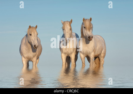 Camargue horses reflecting in the water, Bouches du Rhône, France - Stock Photo