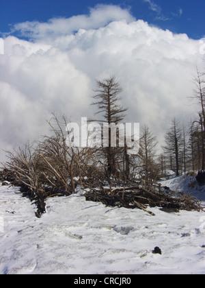 European black pine, Austrian pine, Black Pine, Corsican Pine (Pinus nigra ssp. laricio, Pinus laricio), dead pines - Stock Photo