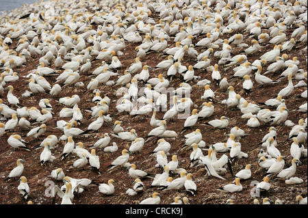 Northern Gannets (Morus bassanus) nesting in summer at Percé on the Atlantic island of Ille Bonaventure off the - Stock Photo