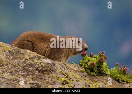 alpine marmot (Marmota marmota), single animal on a rock, Switzerland, Valais - Stock Photo