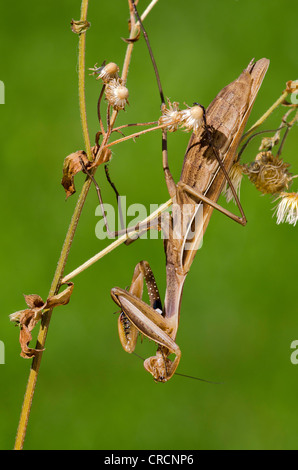 Praying Mantis (Mantis religiosa), Allersgraben, South Burgenland, Austria, Europe - Stock Photo