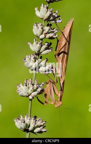 Praying Mantis (Mantis religiosa), Allersgraben, South Burgenland, Austria, Europe - Stock Photo
