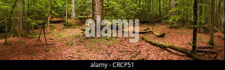 Primeval forest, Bavarian Forest National Park, Bavaria, Germany, Europe - Stock Photo