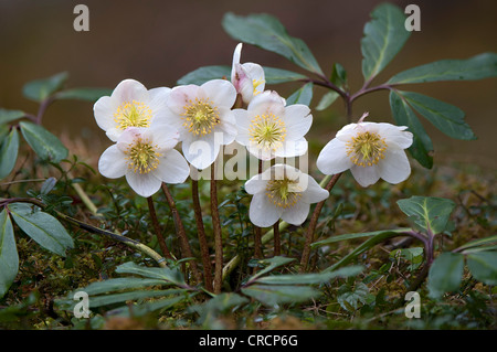 Christmas rose or Black hellebore (Helleborus niger), Thiersee, Tyrol, Austria, Europe - Stock Photo