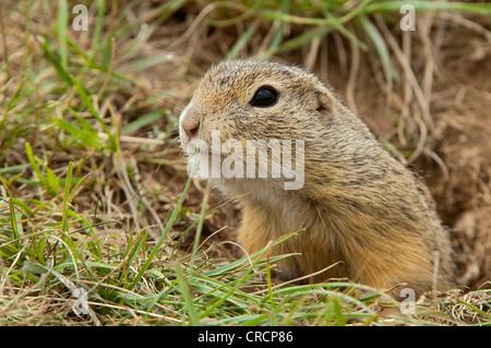 European ground squirrel or European souslik (Citellus citellus), Perchtoldsdorf Heath, Perchtoldsdorf, Lower Austria, - Stock Photo