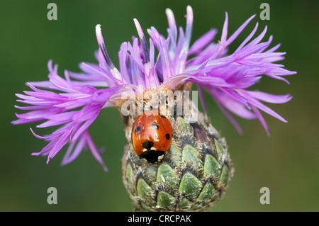 Seven-spot ladybird (Coccinella septempunctata) on Brown Knapweed or Brownray Knapweed (Centaurea jacea) Perchtoldsdorf - Stock Photo
