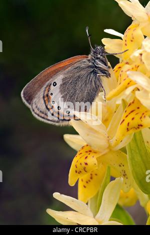 Alpine Heath (Coenonympha gardetta), on Elder-flowered Orchid (Dactylorhiza sambucina), Schoeneck, Hohe Tauern, - Stock Photo