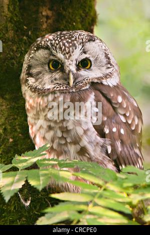 Tengmalm's Owl or Boreal Owl (Aegolius funereus), Bavarian Forest National Park, Bavaria, Germany, Europe - Stock Photo