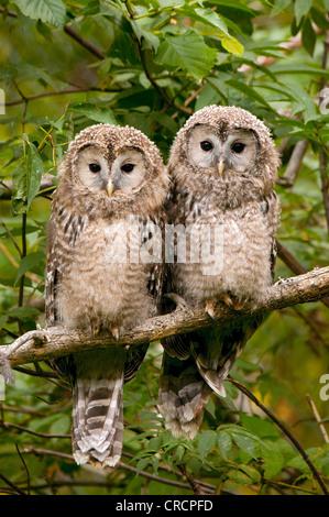 Ural Owl (Strix uralensis), juvenile birds, Bavarian Forest National Park, Bavaria, Germany, Europe - Stock Photo