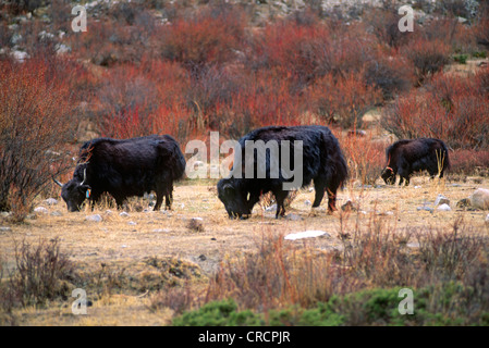 yak (Bos grunniens, Bos mutus), YAKS graze in the river gorge - CENTRAL TIBET, China, Tibet - Stock Photo