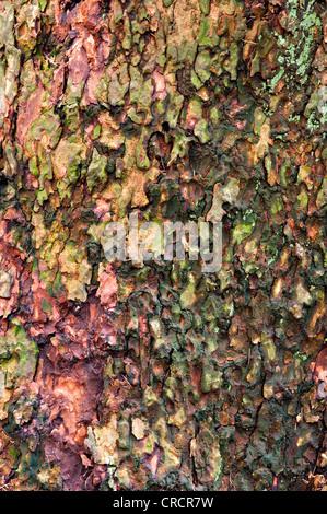 European Larch (Larix decidua), bark, Schwaz, Tyrol, Austria, Europe - Stock Photo