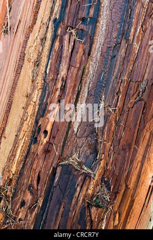European Larch (Larix decidua), wood structure, Schwaz, Tyrol, Austria, Europe - Stock Photo