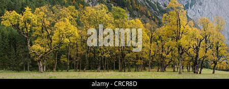 Sycamore or Sycamore Maple (Acer pseudoplatanus), Grosser Ahornboden alpine pasture, Karwendel Mountains, Tyrol, Austria, Europe Stock Photo