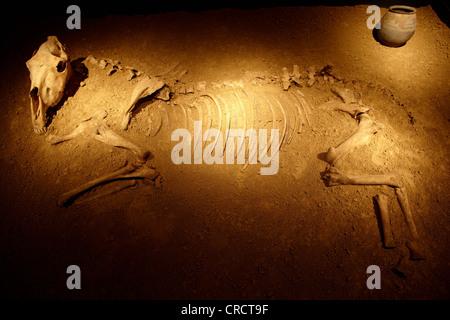 Skeleton of a horse, Landesmuseum Rheinland-Pfalz, State Museum of Rhineland-Palatinate, Koblenz, Rhineland-Palatinate