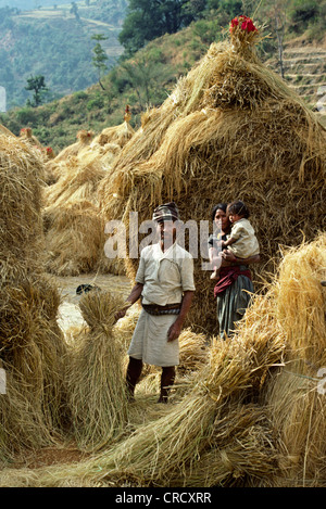 bread wheat, cultivated wheat (Triticum aestivum), GURUNG FAMILY stands in front of piles of DRY HARVESTED WHEAT - Stock Photo
