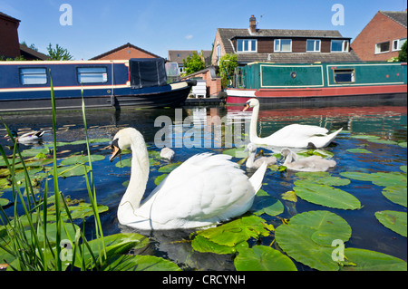 Two adult Swans and young cygnets on the Erewash canal near Long Eaton, Derbyshire, England, GB, UK, EU, Europe - Stock Photo