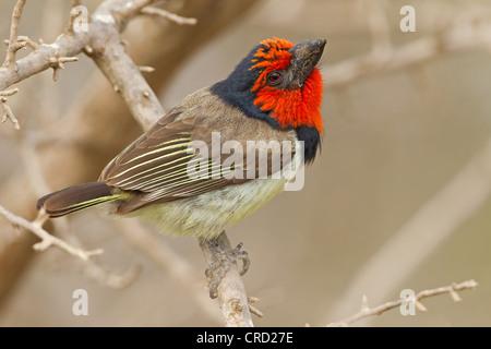 Black-collared Barbet (Lybius torquatus) perching on twig - Stock Photo
