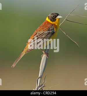 Black-headed Bunting (Emberiza melanocephala) perching on twig - Stock Photo