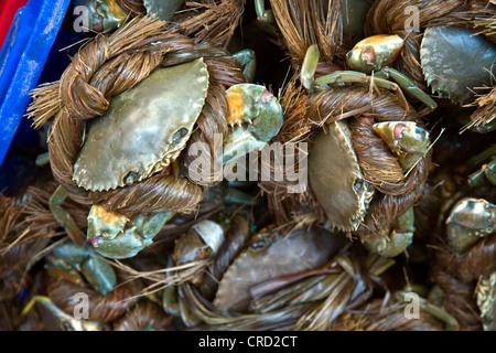 blue swimming crab, sand crab, pelagic swimming crab (Portunus pelagicus), secured in handmade rope await sale in - Stock Photo