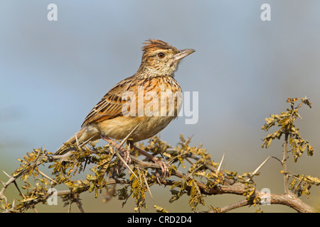 Rufous-naped Lark (Mirafra africana) perching on twig, , Hluhluwe Umfolozi Game Reserve, South Africa - Stock Photo