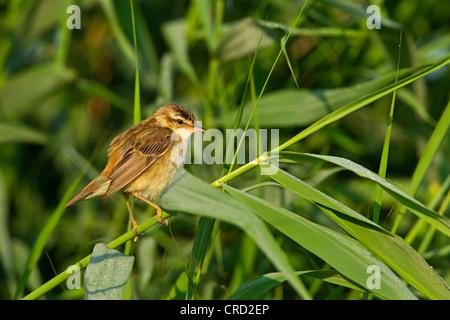 Sedge Warbler (Acrocephalus schoenobaenus) in reed - Stock Photo