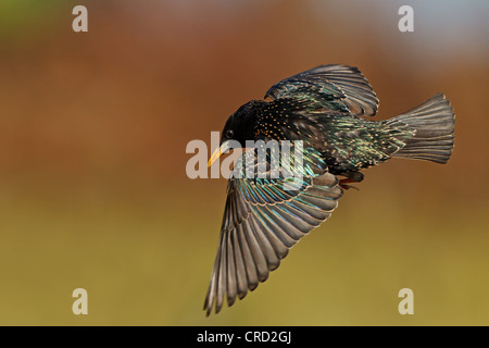 Common Starling (Sturnus vulgaris) flying - Stock Photo
