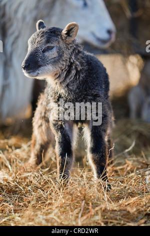 Lamb standing on hay - Stock Photo
