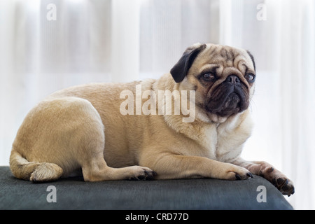 Pug dog lying on sofa - Stock Photo