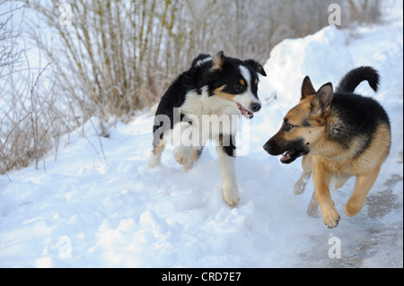 Australian Shepherd and German Shepherd running in snow - Stock Photo