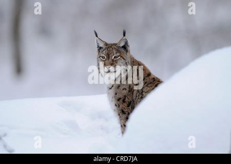 Eurasian lynx (Lynx lynx) in snow - Stock Photo