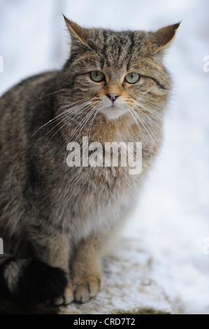 European Wildcat (Felis silvestris silvestris) in snow, portrait - Stock Photo