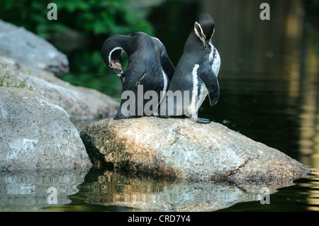 Two Humboldt Penguins (Spheniscus humboldti) standing by the water - Stock Photo