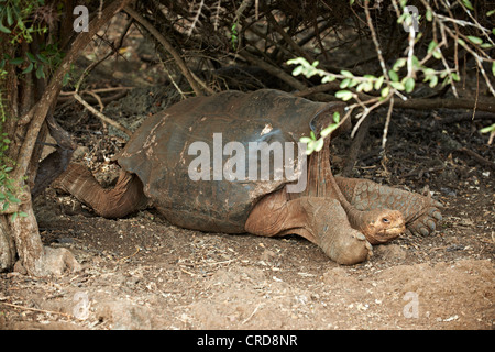 Galapagos giant tortoise (Chelonoidis nigra), Charles Darwin Station, Santa Cruz, Galapagos Islands - Stock Photo